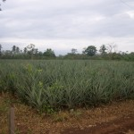 Pineapple plantation in northern Costa Rica.