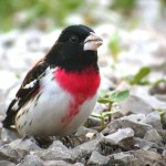 Rose breasted Grosbeak, a neotropical migrant.
