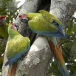Great Green Macaws by Mark Stafford.